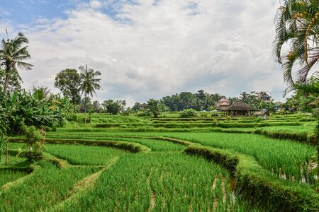Green rice field at cloudy day on Bali, Indonesia