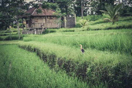 Green rice field with bird at cloudy day on Bali, Indonesia