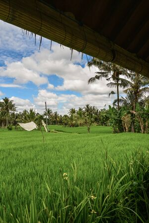 Green rice field at sunny day on Bali, Indonesia