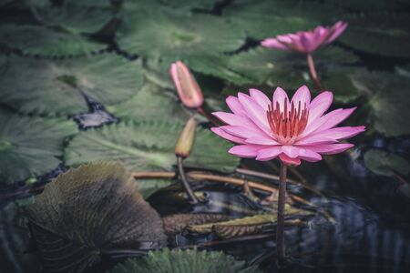 A beautiful pink waterlily or lotus flower in pond closeup Фото со стока