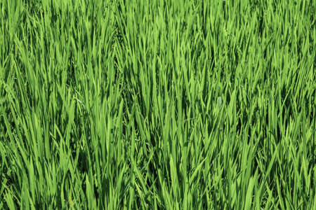 Green rice field background close up
