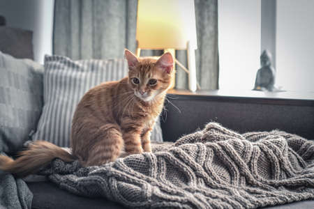 Cute four month ginger kitten is sitting on soft blanket on sofa at home
