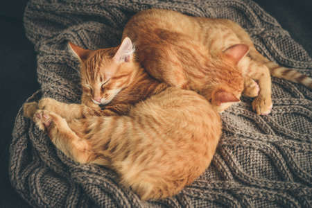 Two cute four month ginger kittens is sleeping in soft blanket on sofa at home