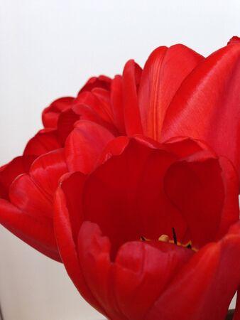 white: Red tulips on white background Stock Photo