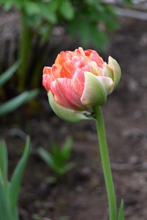 tulipe eternelle