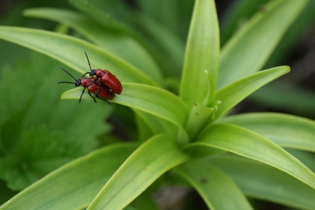 Two red beetles copulating on a green leaf Stock Photo