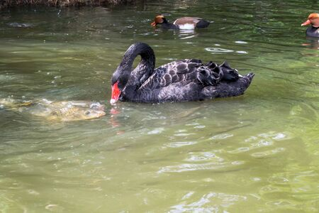Black swan on the pond, eating with fishes. Фото со стока