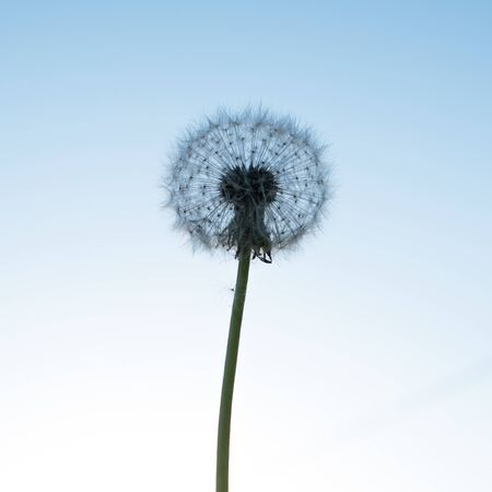 Silhouette of a dandelion on a background of blue sky.