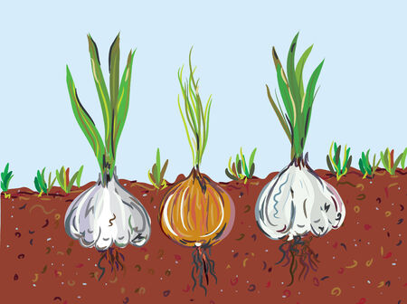 Garlic and onion in the soil Vector