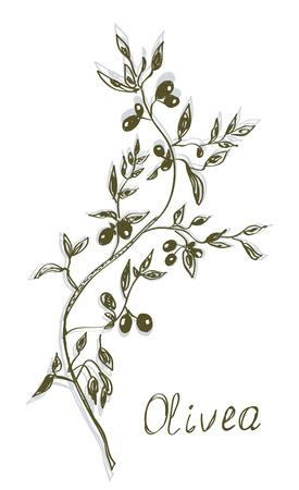 ramal: Dise�o dibujado mano de pintura de oliva rama