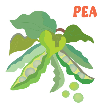 in peas: Green pea illustration with beans - hand drawn design