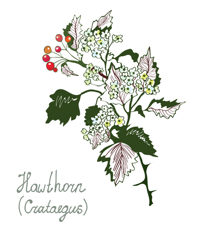 illustration isolated: Hawthorn or cretaceous botany illustration for herbal medicine. Sketchy hand drawn style.