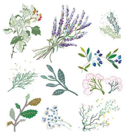 Herbs and plants for herbal medicine graphic illustration.