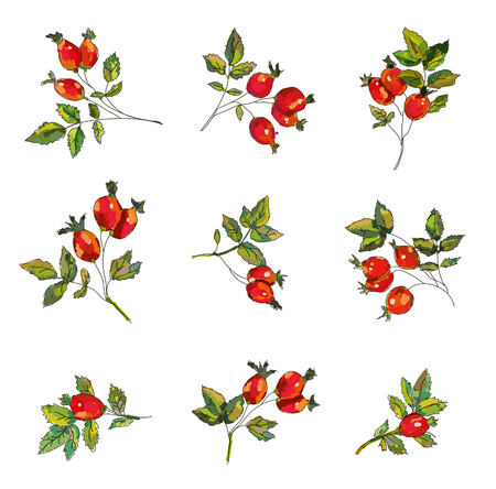 Set di rosa canina con bacche e foglie. Disegno abbozzato disegnato a mano, illustrazione grafica vettoriale.