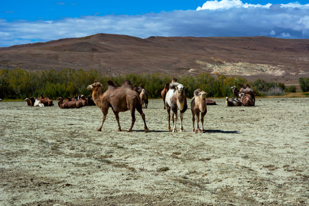 russia steppe: Camel herd in the steppe landscape, blue sky with clouds. Chuya Steppe Kuray steppe in the Siberian Altai Mountains, Russia