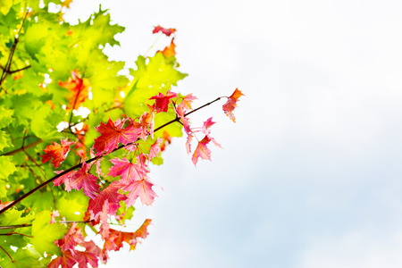 senescence: Branch with red maple leaves on autumn sky background copyspace. Fall leaves background.