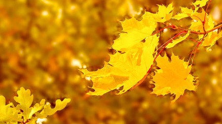 Maple branch with yellow leaves on fall background copy space. Fall leaves background.