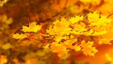 Yellow maple branch on fall background . Fall leaves background. Stock Photo