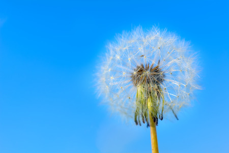 globular: Dandelion globular head of seeds on the blue sky background. Summer meadow with blooming dandelion. Beautiful summer field landscape. Copy space. Stock Photo