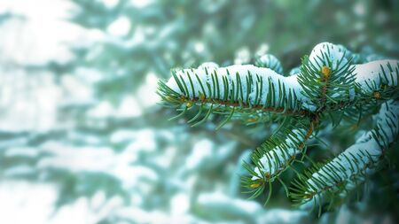 Snow-covered fir branch in winter forest. Christmas greeting background. Copy space. Stock Photo