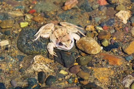 principe rana: Rana de madera sentado en el fondo pedregoso del río. Anfibio despierto a principios de la primavera.