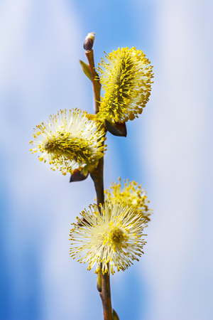 Yellow willow buds sprout. Early spring blooming trees