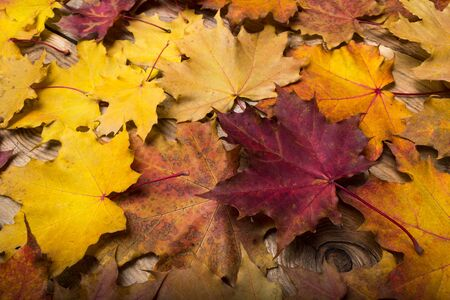 Fall yellow, orange and red magenta maple leaves on the rustic wooden background