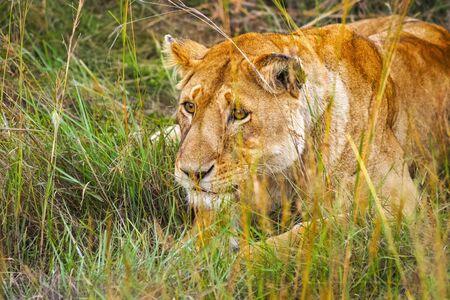 Lioness in the savanna grass at Maasai Mara National Reserve, Kenya