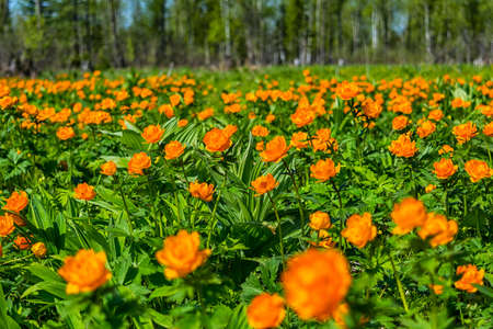 Summer sunny day on blooming meadow with orange Trollius globe flowers.
