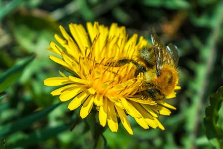 Honey bee collects pollen and nectar from yellow blooming dandelion flower. Saving bees and honey flowers ecology problem concept