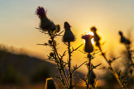 Burdock wild flowers silhouette under sunset sun rays 版權商用圖片