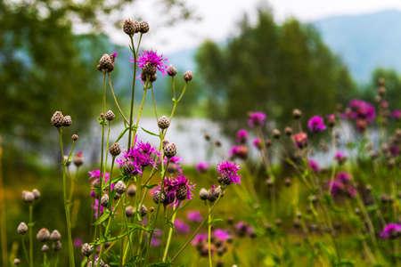 Blooming purple burdock flowers on the bank of the river view 版權商用圖片