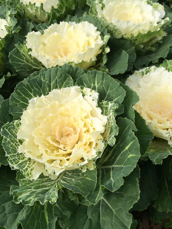 brassica: Brassica Oleracea
