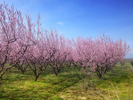 peach blossom: blooming peach trees in spring