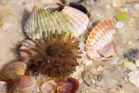 actinia: Sea anemone and shells on the sand Stock Photo