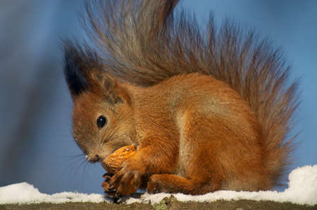 Red squirrel with fluffy tail is eating something from the nutshell Stock Photo