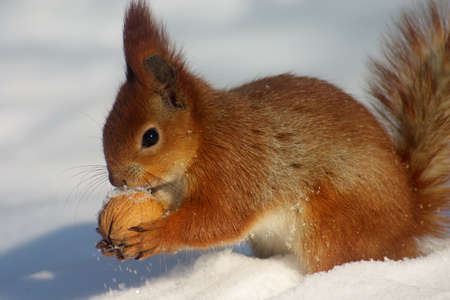 Red squirell with nut in her hands on the snow Stock Photo