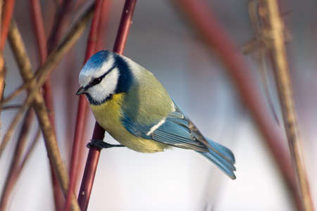 Blue tit sitting in the bushes catching hold of the branch