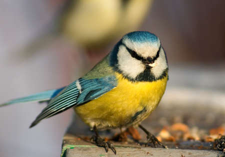 Blue tit with funny full face almost ready to fly