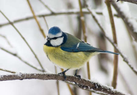 Blue tit siting on the twig in the bushes, wreathed by snow