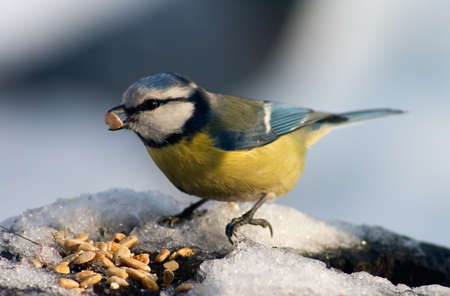 Blue tit sitting on the food tray covered with snow in front of seeds with one seed in its beak