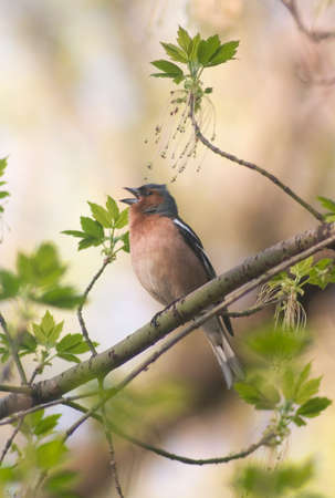 chaffinch bird singing  in the middle of new leafs Stock Photo