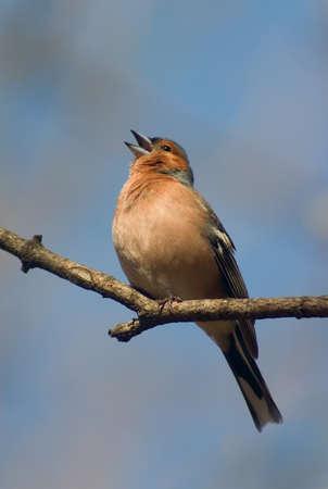 chaffinch bird singing on the twig