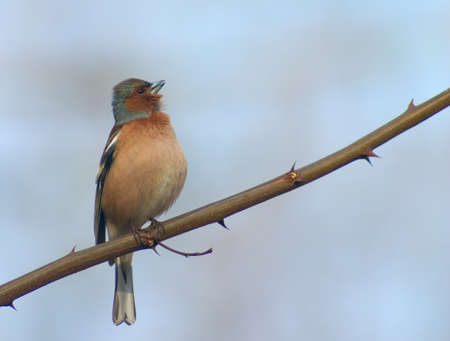 sound bite: chaffinch bird singing on a spiny twig Stock Photo
