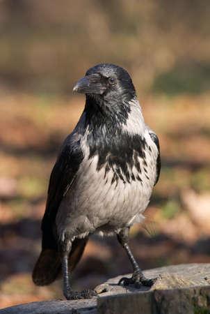 Wild crow bird on the stump