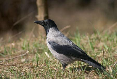 Crow bird on the grass