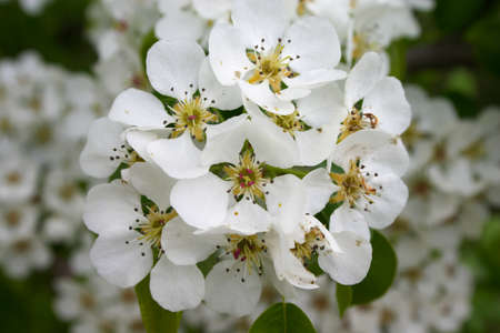bunchy: Bunch of white flowers on the blossoming tree Stock Photo