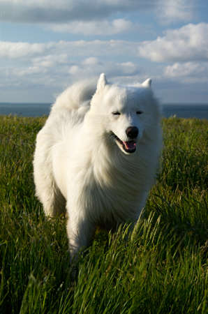 White dog on the wind at the seaside