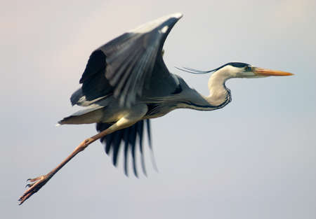 fliegende Reiher Vogel im blauen Himmel  Standard-Bild