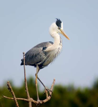Gray heron in breeding dress on the top of tree photo